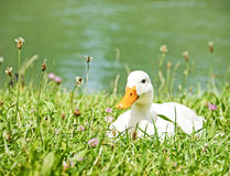 Free White Duck Royalty Free Stock Image - 29702736