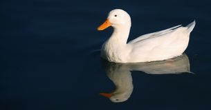 White duck. On the blue water Stock Photos