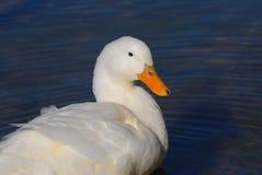 White duck Stock Image