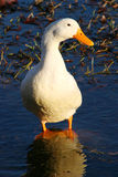 White Duck. Stand in water Royalty Free Stock Image