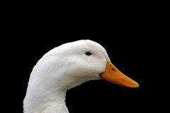 White Duck. Duck against a black background stock photography