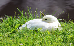 White duck Anas platyrhynchos lies on the shore of the lake in the Gatchina park. Stock Images