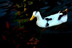 White duck (anatidae) Stock Images
