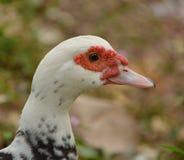 White duck head. White duck background blurred focus at head stock photo