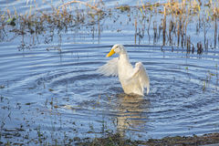 White Duck Bathing Stock Photography