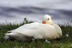 White duck Stock Images