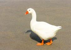 The white Duck Royalty Free Stock Photos