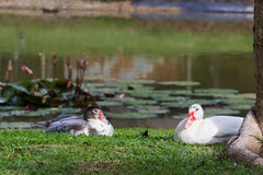 White duck and black duck. Near the pond Stock Photo