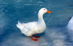 White duck on blue Stock Photos