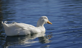 White duck on blue water. A white duck on blue water with ripples and a reflection Royalty Free Stock Photo