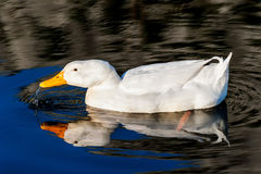 White duck on blue water lake Stock Images