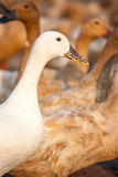White duck and brown ducks in farm Royalty Free Stock Photos