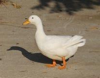 White duck Stock Photos