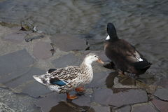 White Duck. Duck is the common name for a large number of species in the Anatidae family of waterfowl which also includes swans and geese stock image