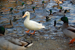 White duck in a crowd Royalty Free Stock Images