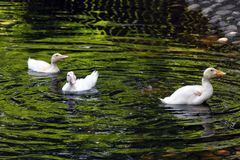 White duck. Cute baby duck. Young white ducks swimming in the water in the lake. Ducklings swim in the pond. Baby of a white duck. stock image