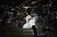 White duck among the darker Stock Images