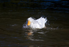 White duck dives into the dark water of the lake Royalty Free Stock Image