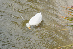 A white duck is diving Royalty Free Stock Image