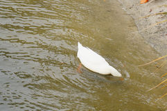 A white duck is diving stock photo
