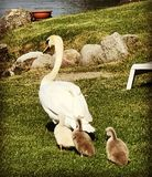 Mother swan and baby swans on the grass walking towards the lake. Mother swan with babies behind her on the grass on Lago Maggiore italy royalty free stock image