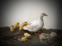White duck with ducklings. A close-up view of a female white duck with her clutch of golden ducklings royalty free stock image