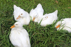 White duck. S at wulaokeng scenic areas, yilan county, taiwan royalty free stock image