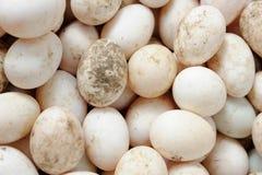White duck egg Royalty Free Stock Photo