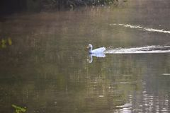 White duck Stock Photography