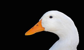 White Duck Face Isolated on Black. This closeup of a white duck's face is isolated on a black background for a dramatic look and pleasing curves Royalty Free Stock Images
