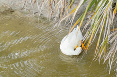 A white duck is feather pecking. A white duck is diving. The picture was taken in USF campus, Florida, USA stock photo
