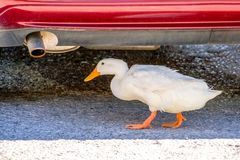 White duck is finding shelter underneath a car.  stock photo