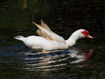 White duck flapping Stock Photos