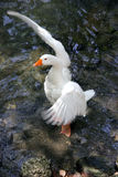 White duck flapping wings. Animals in action concept, animal photography stock image