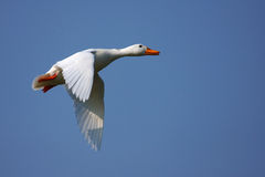 White duck in flight Royalty Free Stock Photography