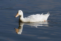 White duck floating Royalty Free Stock Images