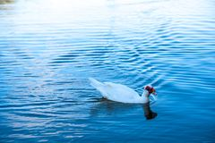 White duck floating on blue water royalty free stock photo