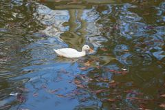 White duck on the pond Royalty Free Stock Image