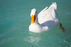 White duck floating in pool Royalty Free Stock Photo