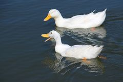 White Duck Friends Telling Jokes and Laughing While Swimming on the Lake royalty free stock photography