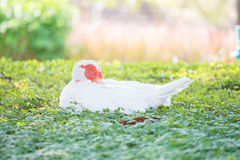 White duck on grass. White duck in the garden Royalty Free Stock Photo