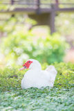 White duck on grass. White duck in the garden Royalty Free Stock Image