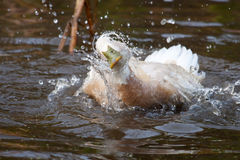 White duck with green bill splashing in the water Royalty Free Stock Image