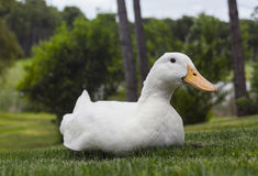 White duck on green lawn Royalty Free Stock Image