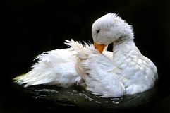 White duck grooming in water royalty free stock photos