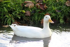 White duck. Group white ducks swimming and foraging for food in the ditch Stock Photography