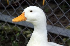 White duck head Stock Photography