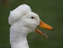White Duck Head. Picture of a white duck quacking royalty free stock images