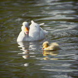 White duck with her duckling in a lake. White duck with her duckling communicate in a lake. Beauty in nature Royalty Free Stock Photos