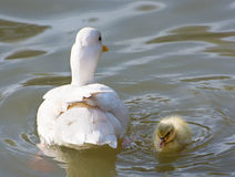 White duck with her duckling in a pond Stock Images